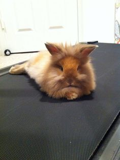 my next rabbit will be a lionhead! it's what charlie wants =)
