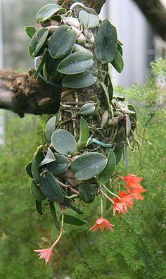 cultivando Orquídeas e idéias: ORQUIDEAS, O que deve ser observado na hora da compra!