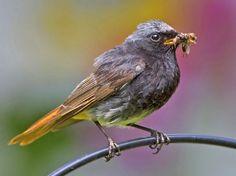 Vogelarten in der Schweiz: Hausrotschwanz