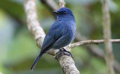 Nilgiri Flycatcher - S. India