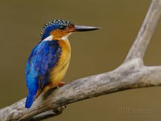 Malachite Kingfisher, Alcedo Cristata, Madagascar Photographic Print by Frans Lanting at AllPosters.com