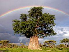 バオバブの木にかかる虹 ボツワナのオカバンゴ・デルタ、モンボ地区