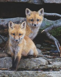 red fox kits | animal + wildlife photography