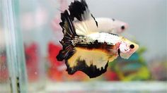 19 Secrets Everyone Who Has A Pet Fish Won't Tell You - Şirin - 19 Secrets Everyone Who Has A Pet Fish Won't Tell You Picking out the perfect fish is NOT easy. Do you want a goldfish? Or maybe a betta fish? Or maybe something more ~exotic~? Pet Fish, Pet Goldfish, Fish Fish, Breeding Betta Fish, Funny Animals, Cute Animals, Easy Pets, Fish Care, Siamese Fighting Fish