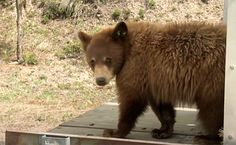 Daily Cute: Rescued Bear Cubs Return To Wild | Care2 Causes