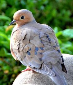 Mourning Dove by diann