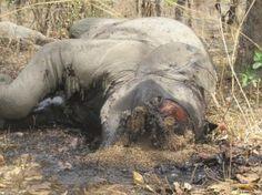 Le Service de la Faune kényane a annoncé le 8 janvier le plus grand massacre d'éléphants depuis 20 ans sur son territoire. Onze pachydermes ont été tués par des braconniers pour alimenter un trafic d'ivoire en plein développement toujours à destination de l'Asie.