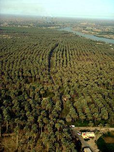 Iraq palm trees