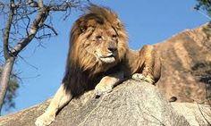 lion jump - Поиск в Google