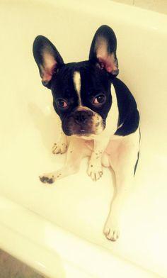 Otto the Boston Terrier Loves his Bathtub