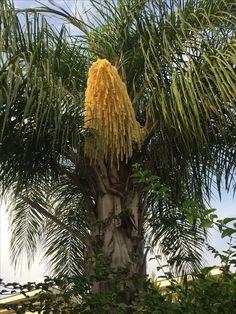 İki ay önce meyvesi misali çekirdeklerini döken Kraliçe Palmiyemim bu yıl yeni çekirdeklerini ilk defa günışığına çıkartırken muhteşem görüntüsünü paylaşmadan duramazdım