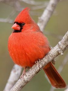 Pictures of red birds in indiana