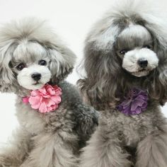 Toy silver poodles.