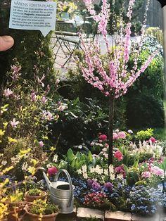Spring flowers! Magnolia och Rosenmandel - Prunus triloba från Allt om Trädgård 2015 nr 6.