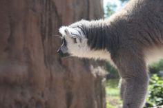 Un simpatico Lemure:)