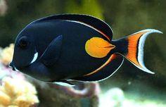 Achilles Tang fish. Love these guys! #fish #aquarium