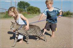 Gato-Savannah-Cuidados[1]