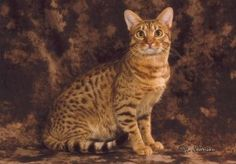 The Ocicat is a pretty rare breed of cats whose fur is stained and looks similar to that of wild cats. Ocicat name comes from the similarity to the wild cat, Ocelot. Despite, appearances, these cats do not have any gene of wild in them. This breed is a cross between Siamese cat, Abyssinian cat and then the American Shorthair.