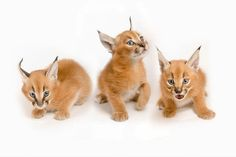 Five weeks old caracal kittens by: Michael Durham