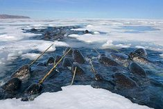 narwhals~ incredible creatures