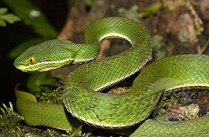 Himalayan white-lipped pit viper Snake Photos, The Venom, Pit Viper, Reptiles And Amphibians, Himalayan, Snakes, Worms, Nerd, Creatures