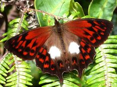 White -Patched Lasio, Butterfly tour to Peru, Manu road and Machu Picchu