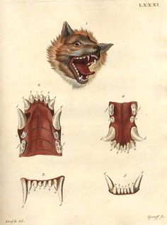 A Dog's Jaw.  From the Scientific Illustration blog on Tumblr.  This is a good place to indulge in your naturalist tendencies.
