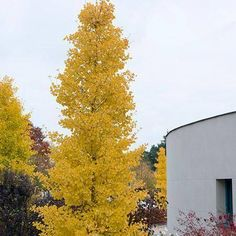 Goldspire Ginkgo Tree For Fast Growing Trees- good privacy screen Unique Trees, Small Trees, Colorful Trees, Small Yard Landscaping, Landscaping Trees, Columnar Trees, Deciduous Trees, Tall Skinny Trees, Privacy Trees