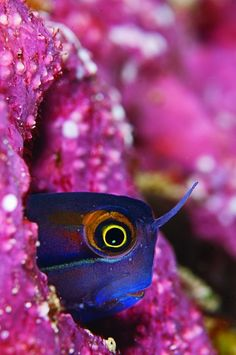 earthlynation:    tiny blenny in Raja Ampat by source