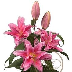 Lily Oriental Roselily Juanita are great for flower arrangements for weddings and events! Creating a natural and textured look! Head over to www.trianglenursery.co.uk for more information! Great wholesale prices!