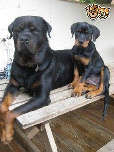 chunky rottweiler puppies | Aylesbury, Buckinghamshire | Pets4Homes