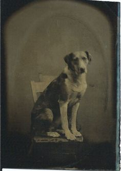 1/6 plate tintype of good dog sitting on chair.  From bendale collection