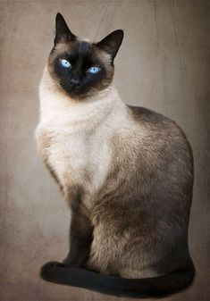 best images and photos ideas about siamese cat - most affectionate cat breeds - Siam ❤️ - Katzen Most Beautiful Cat Breeds, Beautiful Cats, Animals Beautiful, Cute Animals, Siamese Kittens, Kittens Cutest, Cats And Kittens, Bengal Cats, Cats 101