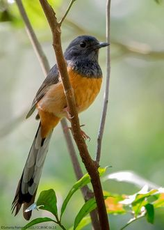 White-rumped Shama (Copsychus malabaricus) is a small passerine bird of the family Muscicapidae. Native to densely vegetated habitats in the Indian subcontinent and Southeast Asia ...