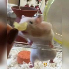 -----------🐹🍽 🐹----------- Look how adorable this hamster is when eating it's favorite food! Hamsters Video, Funny Hamsters, Hamster Food, Hamster House, Happy Animals, Animals And Pets, Funny Animals, Animal Pick, Cute Guinea Pigs