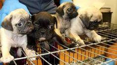Il destino di questi 26 cuccioli era nelle mani di veri banditi: 'Non cadete nella trappola' - http://www.sostenitori.info/destino-26-cuccioli-nelle-mani-veri-banditi-non-cadete-nella-trappola/279296