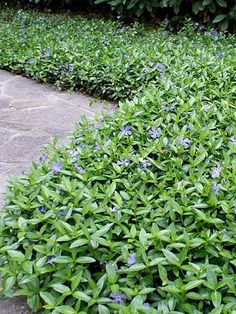 The Difference Between Vinca Major And Vinca Minor Flowering Plants Backyard Garden With Vinca Minor Periwinkle Plant, Full Sun Ground Cover, Ground Cover Plants Shade, Outdoor Plants, Outdoor Gardens, Covered Garden, Front Yard Landscaping, Formal Gardens, Landscaping