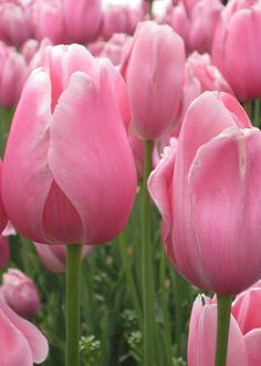 10 Tulip Tips - Fresh by FTD