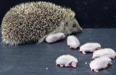 Baby Hedgehogs and Mama !