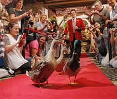 The Peabody Memphis Hotel, Memphis, Tennessee - the famous ducks walking the red carpet to their fountain.
