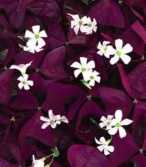 oxalis - Lowest canopy/ground cover in the front with Lily of the Valley