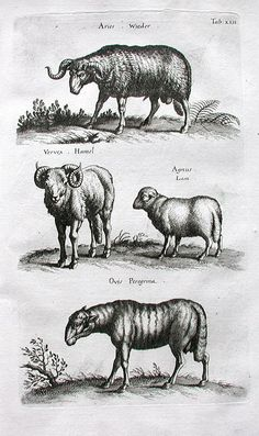 Horned Long Tailed Sheep 1755