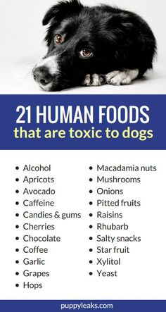 21 human foods that are toxic to dogs. Some human snacks are good for dogs in moderation, but there are some foods you should avoid. From apricots to xylitol, here's 21 people foods that are toxic to dogs. dogs doghealth dogtips puppies via Puppy Leaks Dog Health Tips, Dog Health Care, Toxic Foods For Dogs, Human Food For Dogs, Dog Nutrition, Nutrition Guide, Dog Care Tips, Pet Care, Puppy Care