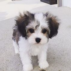 Cavachon – Cavalier King Charles Spaniel and Bichon Frise Cavachon – Cavalier King Charles Spaniel und Bichon Frise Bichon Frise, Cute Baby Animals, Animals And Pets, Cavachon Puppies, Maltipoo, Cavapoo, Poodle Puppies, Bichons, Poodle Mix