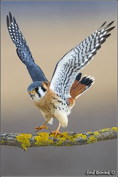 The American Kestrel, sometimes colloquially known as the Sparrow Hawk, is a small falcon, and the only kestrel found in the Americas.