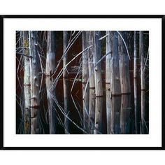 "Global Gallery Western Cedar Trees, Oliphant Lake, British Columbia, Canada by Tim Fitzharris Framed Photographic Print Size: 30"" H x 38"" W x 1.5"" D"