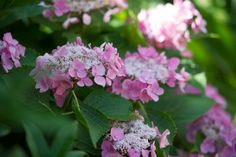 Learn how to prune hydrangeas such as Hydrangea macrophylla, Hydrangea paniculata and Hydrangea arborescens.