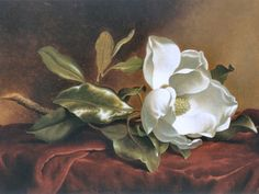 Giant Magnolia