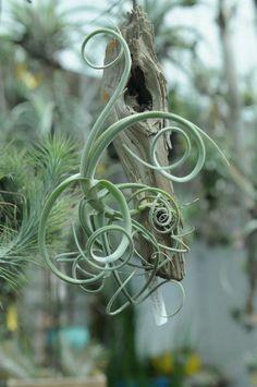 tillandsia crocata x duratii Weird Plants, Unusual Plants, Cool Plants, Cacti And Succulents, Planting Succulents, Air Fern, Plante Carnivore, Air Plant Display, Air Plant Terrarium