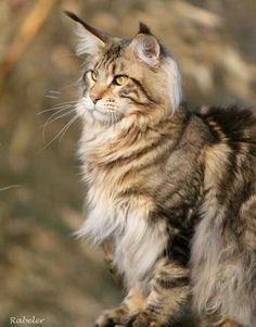 Maine Coon Tabby http://www.mainecoonguide.com/where-to-find-maine-coon-kittens-for-sale/